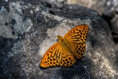 Kaisermantel (stefangruber82) Tags: alpen alps tirol tyrol silberstrich silverwashedfritillary schmetterling butterfly