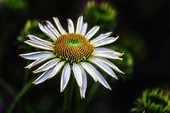 In the garden (anderswetterstam) Tags: flowers nature white garden freshness vunerability fragility whit summer summertime seasons floral flora botanical