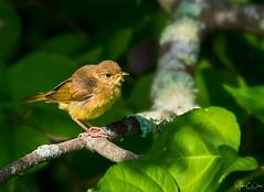 Female Yellow Warbler....Maybe? (John Clay173) Tags: bird newengland summer vernon beldingwildlifemanagementarea jclay