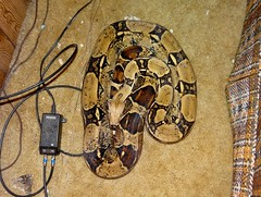 You sort of know (EcoSnake) Tags: boca colombianboaconstrictor redtailboa boaconstrictorconstrictor snakes reptiles escapes
