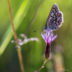 L'Azuré aux premières lueurs (Shoot Enraw) Tags: insecte fleur argusbleu macrophotographie papillon nature