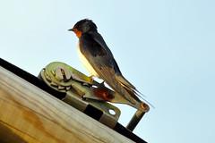 Swallow 3 (earlsy1) Tags: swallow bird seaside beach croyde bay tent camping glamping uk devon england