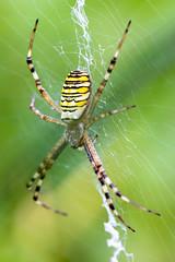 (Markus Hill) Tags: prebensdorf steiermark österreich at canon macro makro 2018 animal nature summer spider spinne wespenspinne
