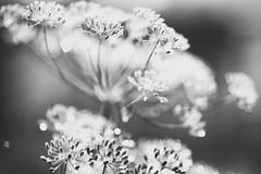 all things (_elusive_mind_) Tags: nature herbs monochrome simplicity blackandwhite bw dill stillleben leise makro blume light