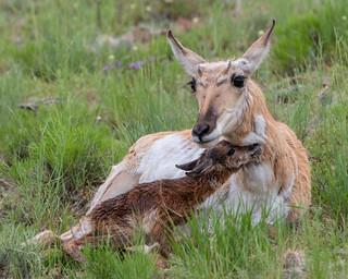 Pronghorn Antelope, Antilocapra americana, Doe bonding with its newborn fawn. Greater Yellowstone Ecosystem, Montana