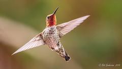 Anna's Hummingbird (Bob Gunderson) Tags: annashummingbird birds california calypteanna hummingbirds missiondistrict northerncalifornia sanfrancisco
