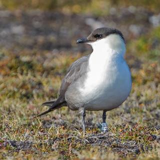 IMG_9960 Long-tailed Skua, Svalbard 02_08_2018