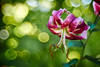 Love is ... (matt.kueh) Tags: liliummartagon martagonlily turkscaplily lily flower plant blume lilie türkenbundlilie light colors bokeh bokehlicious soapbubblebokeh vintagelens manualfocus m42 depthoffield meyeroptikgoerlitztrioplan100mmf28