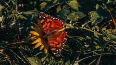 Mariposa de la tarde (Vanessa carye), Región del Bíobio, Chile.
