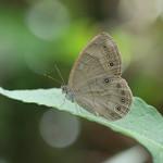 Appalachian Brown (Satyrodes appalachia) thumbnail