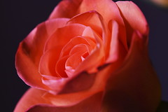 DSC_0915 (PeaTJay) Tags: nikond750 sigma reading lowerearley berkshire macro micro closeups gardens indoors nature flora fauna plants flowers rose roses rosebuds