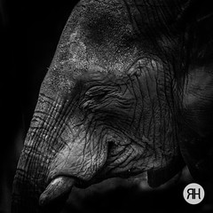 The elephant in the room (RonHui) Tags: ouwehands zoo animals dier beest dieren dierentuin