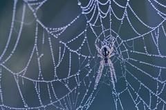 W sieci (malgorzata_p) Tags: spider spiderweb dew rain drops
