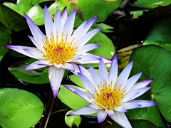 soft color (oneroadlucky) Tags: nature plant flower lotus waterlily purple green