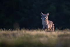 Coyote82418 (1 of 1) (daverazzi) Tags: coyote wildlife wild nature outdoors