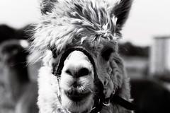 imm013_14A (A Clockwork Symphony) Tags: alpaca fp4plus ilford canon eos5 monochrome blackwhite