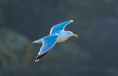 Strumble Herring Gull