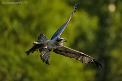 X Wing! (Ross Forsyth - tigerfastimagery) Tags: aviemore osprey gordonmcleod cairngorm wild wildlife nature free trout birdofprey raptor scotland fishingosprey