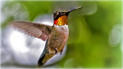 Winging it !! (Bob's Digital Eye) Tags: ♂ action animal bird birdsinflight bobsdigitaleye bokeh canon canonefs55250mmf456isstm closeup depthoffield fauna flicker flickr hummingbird may2018 motionblur rubythroatedhummingbird t3i wildbirds wildlife