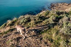 ºº Higher Love ºº (m+m+t) Tags: dscf56751 mmt meredithbibersteindesign newzealand northisland wellington titahibay sea water ocean rocks coast tussock cliffs fujixt1 fujixseries fujimirrorless dog dogwalk weimaraner ida explore adventure nature outdoors