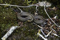 Snake (Ismael Owen Sullivan) Tags: snake gali galicia animals animales reptil serpiente macro macrografia macrofotografia nikon d5300 foto fotografia digital nature naturaleza natural wild