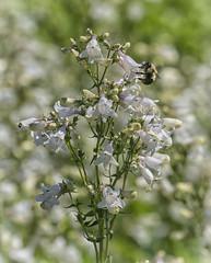 sea of white (Deb Felmey) Tags: delaware delawarebotanicgardens gardens flowers southerndelaware flower nature meadow