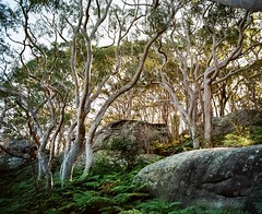 Sydney (Bill Thoo) Tags: sydney nsw australia newsouthwales landscape scenic nature woods trees ferns sunset travel eucalyptus pentax 6x7 pentax6x7 kodak ektar ektar100 kodakektar kodakektar100 5540 film analog analogue filmphotography analogphotography analoguephotography mediumformat mediumformatfilm mediumformatfilmphotography mediumformatfilmcamera filmcamera