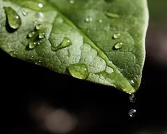 Drip (Ben_Neal) Tags: professional photographer closeup leaf greenery wilderness nature nikond5600 rain waterdrop drip plant water