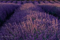 Lots and Lots and Lots and Lots of Lavender (Jo Mitchell Photography) Tags: colour loveengland nikon naturephotography photography mayfieldlavender outdooradventure nature nikond500 surrey lovegreatbritain nikond500photography jomitchellphotography lavender ukpotd sunset photooftheday flowers banstead