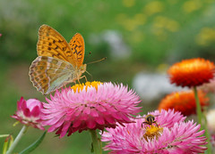In the park (Darea62) Tags: butterfly insect nature flower wildlife elicrisio animal wings argynnispaphia silverwashedfritillary