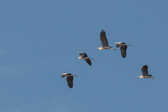 Flight of the herons (Anthony P.26) Tags: bandirma category places travel turkey tamron70200g2 canon70d canon bird heron flight birdinflight bluesky wildlife