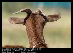 Brown goat (__Viledevil__) Tags: agriculture animal brown cute domestic ears eye eyes face farm fauna field fur goat grass hair head horn looking mammal meadow natural nature nose outdoor pastoral portrait rural standing vertebrate rota andalucía españa es