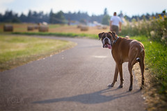 32/52 Are you coming now? (Kerstin Mielke) Tags: boxerdog kurt 52weeksfordogs walk summer look back