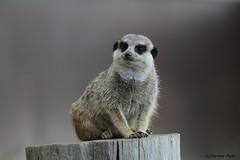 Suricate (Passion Animaux & Photos) Tags: suricate meerkat suricatasuricatta parc animalier auvergne france