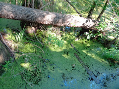 Downed Tree In The Swamp Water. (dccradio) Tags: lumberton nc northcarolina robesoncounty outdoor outdoors outside lutherbrittpark park citypark nature natural woods wooded jacobswamp swamp swampland swampy tree trees greenery plant treebranch treebranches branch branches treelimb treelimbs foliage leaf leaves fallen fallentree downedtree june sunday afternoon summer summertime forest water swampwater sony cybershot dscw830