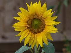 Sunflower 12-08-2018-6432 (seandarcy2) Tags: sunflower