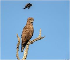 Brown-Snake-Eagle__AM07582 (SueM59) Tags: birds brownsnakeeagle knp may2018 raptors