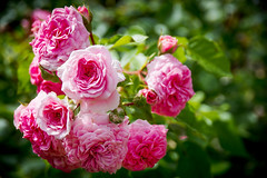 roses (Dan Guimberteau) Tags: rose flower pink garden lightroom dxo photolab france
