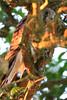 Young kestrel (portrait), Whitstable, Kent, late evening light (Jim_Higham) Tags: bird nature natural wild widlife avian british english uk britain eu europe european