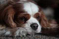 Another photo of Garrou (MomOfJasAndTam) Tags: garrou dog pet animal fur furry snout sleep sleepy kingcharlescavalierspaniel canine portrait