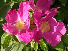 Rosa rugosa, In Explore ;) Aug 17, 2018 # 166 (Michiel Thomas) Tags: roos rosa rugosa bottelroos inexplore explore