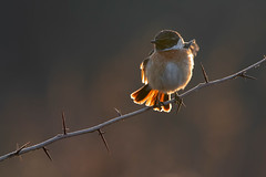 stonechat (leonardo manetti) Tags: uccello bird nature red winter colours naturephotography field natural nikkor countryside green morning black stonechat dawn sunrise backlight
