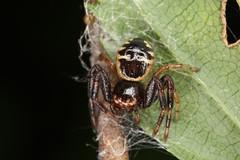 Synema globosum, l'araignée-Napoléon (forme jaune) (chug14) Tags: macro araignée spidae animalia arthropoda arachnida araneae thomisidae araignéenapoléon synemaglobosum unlimitedphotos