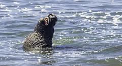 Bellowing Bull Elephant Seal (Blazing Star 78613) Tags: piedrasblancascalifornia piedrasblancas california seal elephantseal hwy1 northernelephantseal californiacoast californiahwy1 miroungaangustirostris
