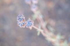 Backyard Bokeh (Robert Borden) Tags: flower plant bokeh 50mm 50mmlens fuji fujifilm fujifilmxt2 fujiphotography fujiphoto santaclarita la losangeles california