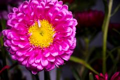 Pink (SLX_Image) Tags: nederland thenetherlands zeeland pink flower macro plant