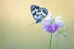 Simple (donlope1) Tags: macro nature light papillon butterfly closeup evening sunset wildlife flower fleur ion