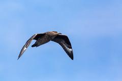 Great Skua (Bonxie) in flight (ejwwest) Tags: hebrides skua atlantic scotland islands northatlantic hirta wildlife greatskua stkilda stercorariusskua bonxie unitedkingdom gb