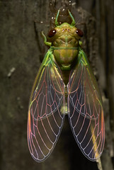 Newly moulted cicada (pbertner) Tags: newlymoultedcicada rainforest amazon southamerica colombia amacayacu calanoa