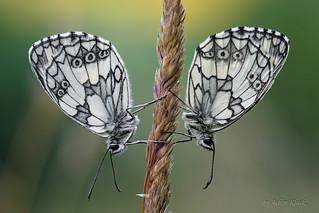 Schachbrettfalter (Melanargia galathea) Schlafgemeinschaft